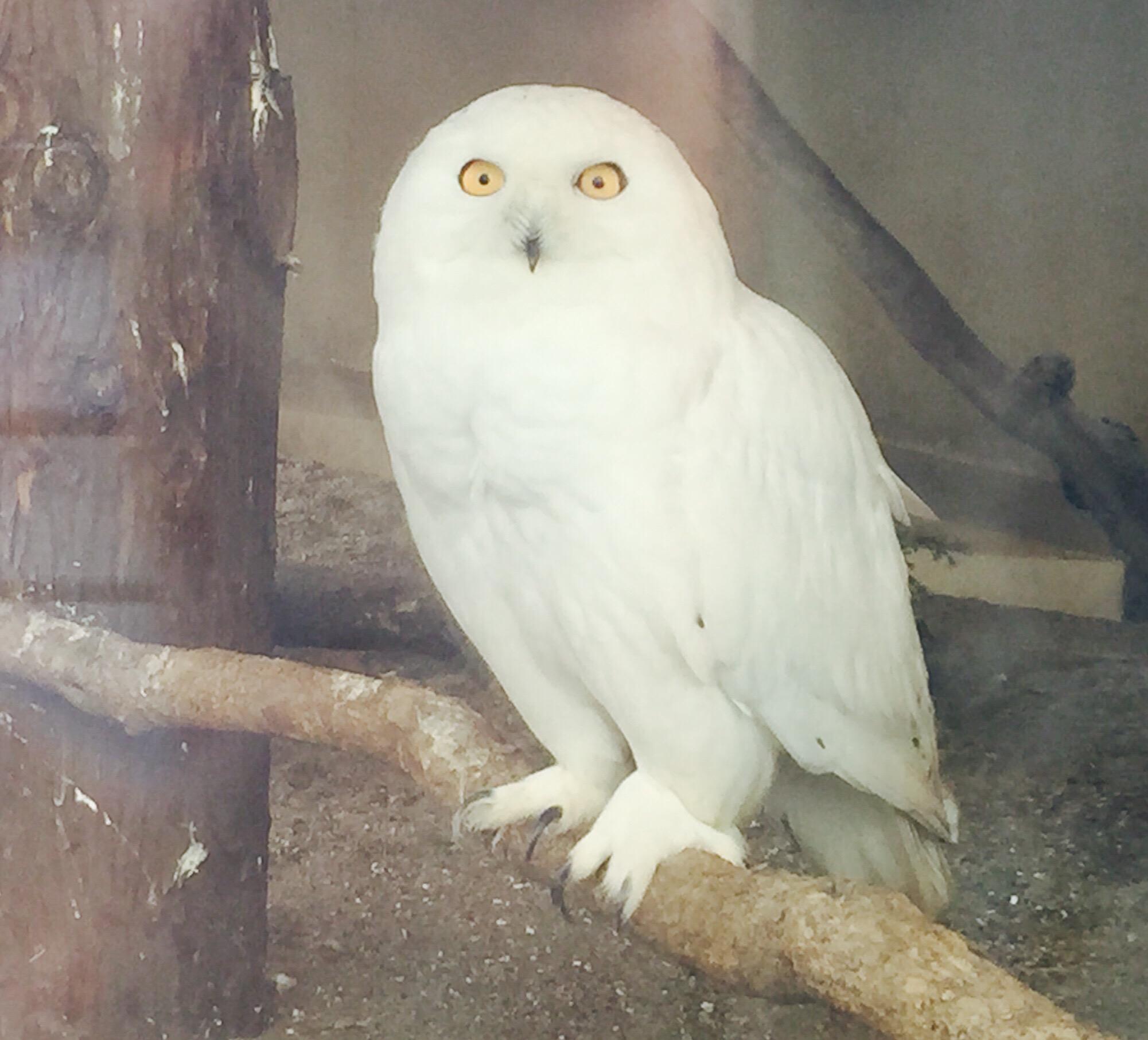Animal Bard Snowyowl At The Ueno Zoo