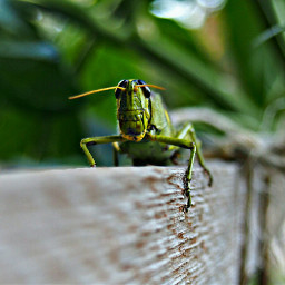 shallowdepthoffield grasshopper green insect nature