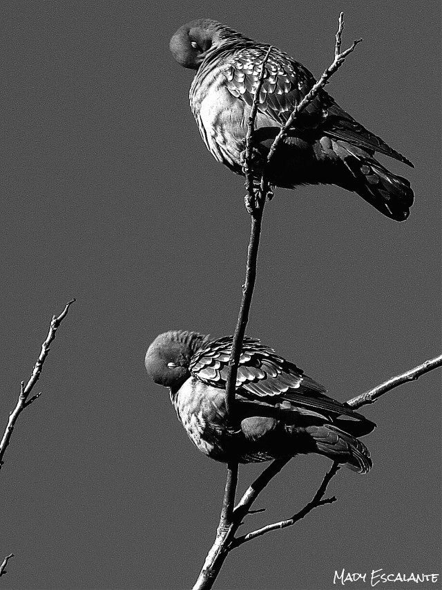 #photography  #blackandwhite #petsandanimals #nature ##WAPblackandwhite  #birds #dove