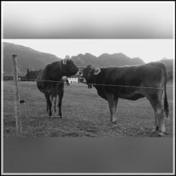 cows nature mountains bavarian