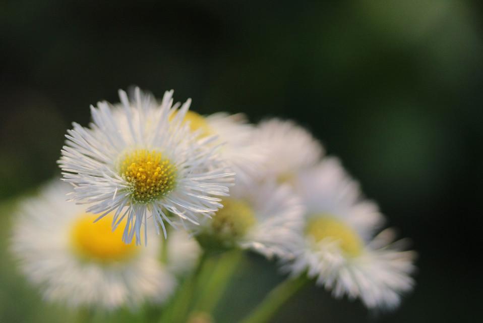 #japan #flower #flowers #whiteflower #nature #canon #autumn #macro