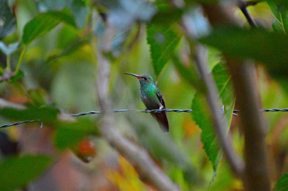 Colibrí  #bird