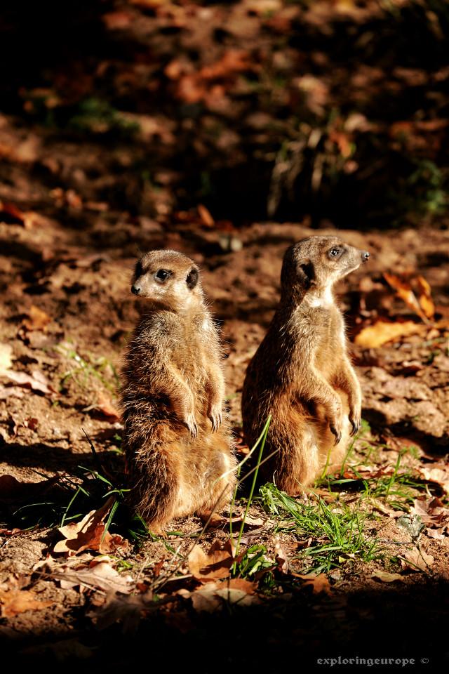 Meerkats are soo cute😍😍😍  #closeup #fall #animals #photography #meerkats