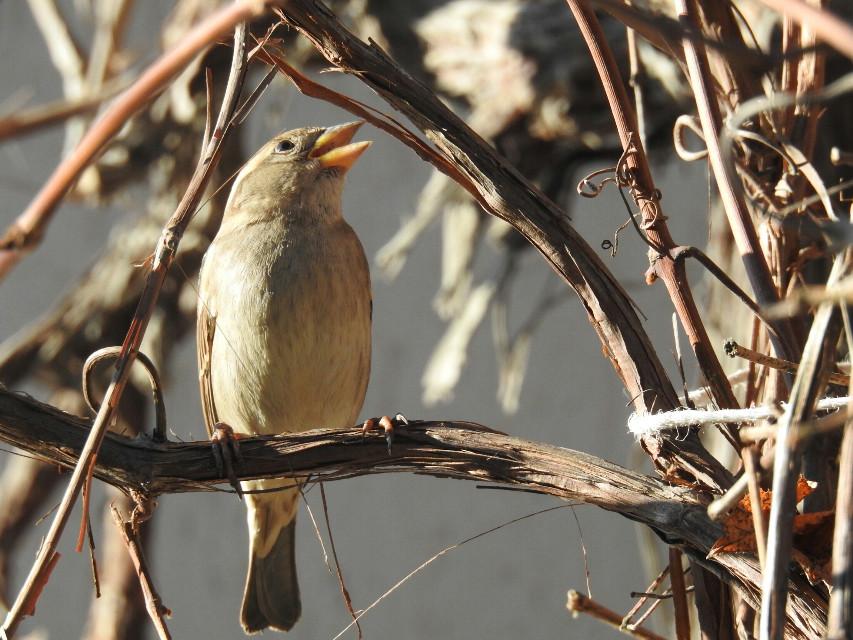 Sparrow . #bird  #nature