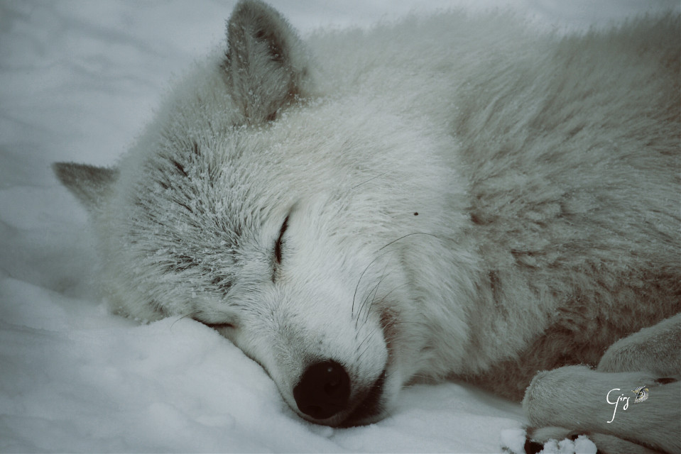 White Wolf on the snow For the daily inspiration   #white  #petsandanimals