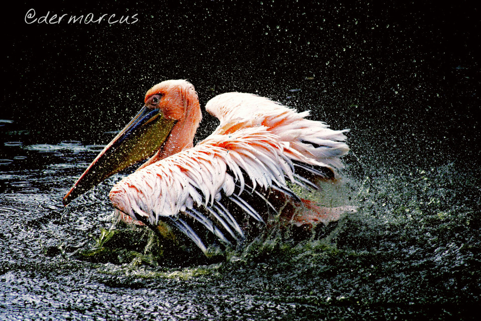 Happy monday dear friends 🙏🙏💝   #movement  #pelican  #water  #petsandanimals  #pelikan