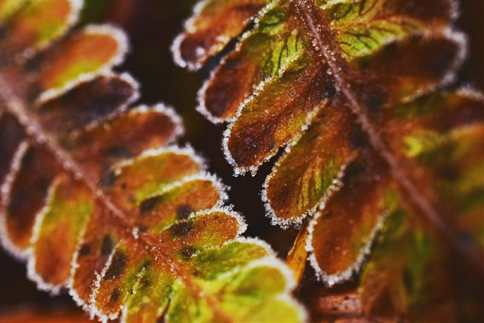 Dead Cold. #photography #nature #winter #colorful #macro #frost #ice #leaf #fern