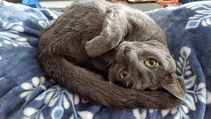 mypet cat petsandanimals gray cute
