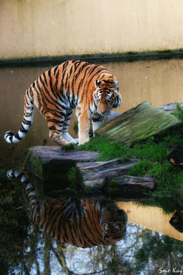 First look in the mirror 😊 Erstmal in den Spiegel schauen 😊 #tiger #photography #nature #petsandanimals #animals #zoo #cat #mirror