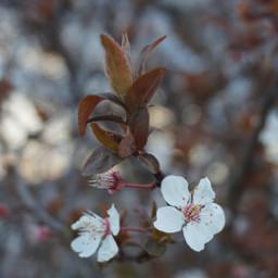 spring plumblossom