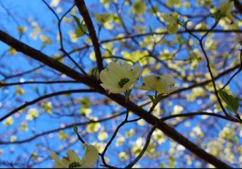 spring dogwood eastertime