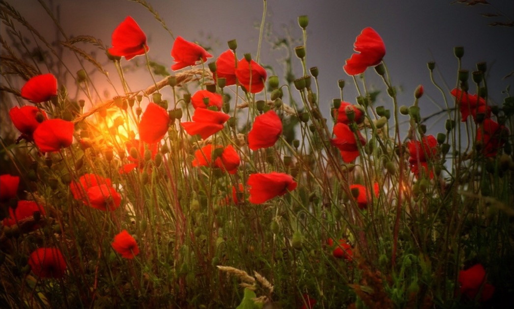 #poppy #edited #edit #art #sun #poppys