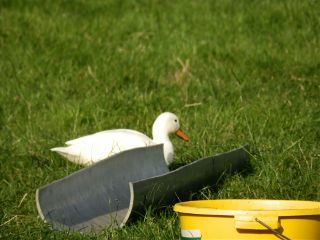 travel summer duck holland holiday