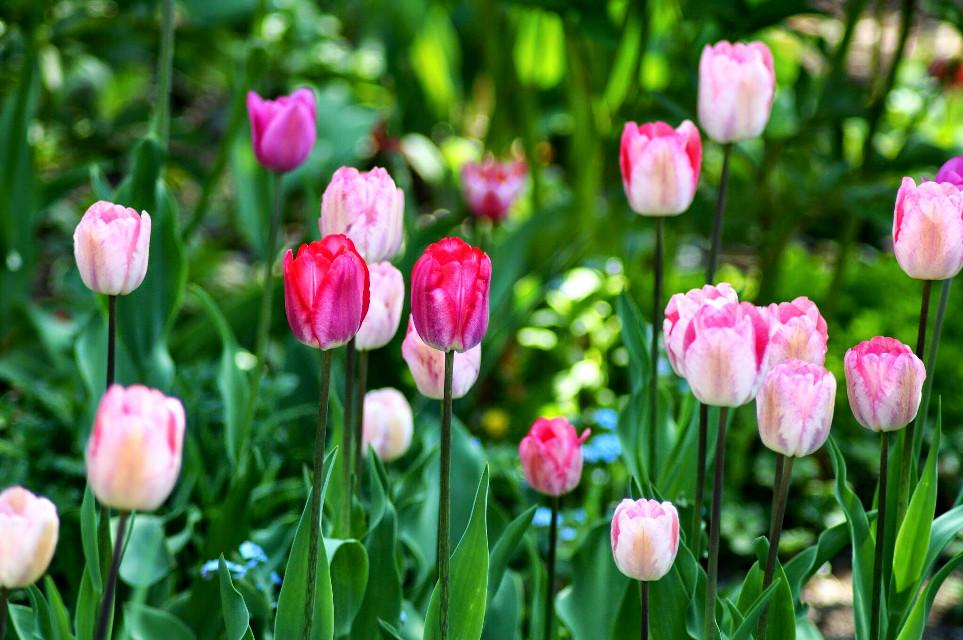 #tulips #flowers #plants #nature #garden