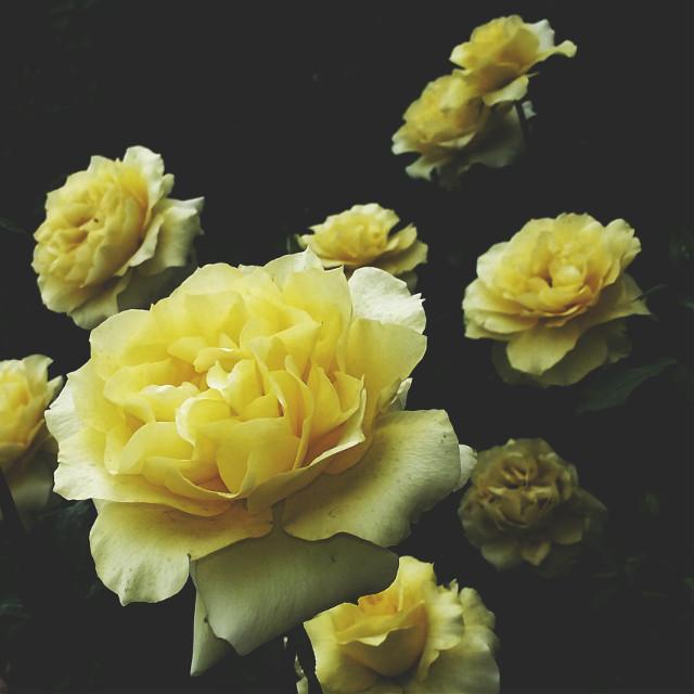 #nature #freetoedit #flower #photography #dramaeffect