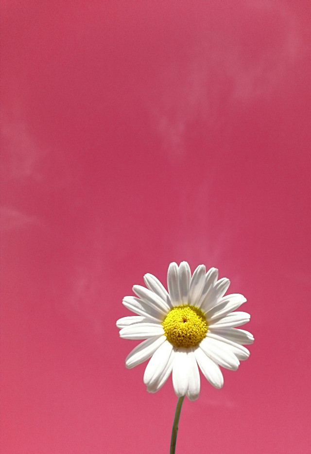 🌼 Daves Daily Daisy 🌼 Hello there my fellow Picsartist's wishing you all a fantastic day 👋 👍😀😎🌼💕#daisy #flower #minimal #pink