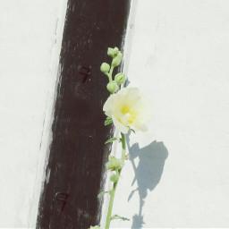 photography nature flower whiteonwhite reflection