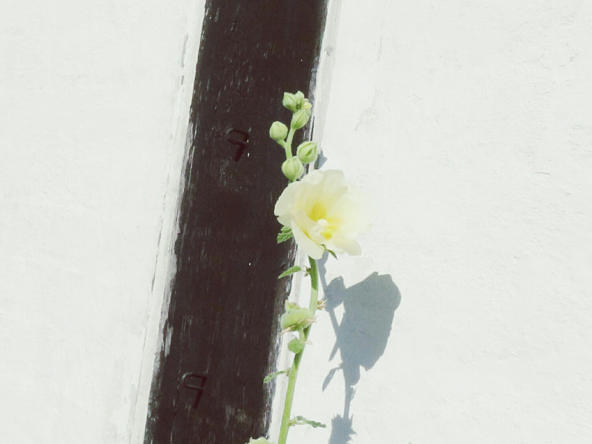 #photography #nature #flower  #whiteonwhite  #reflection  #soft