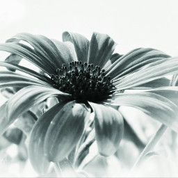 flower sepia closeup photography blossom